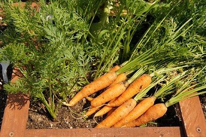 nanta carrots